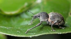 Beetle, Beetle Beautiful, Beetle of Thailand. Beetle, Weeevils, Snout Beetle on green leaf royalty free stock photos