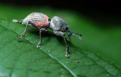 Beetle, Beetle Beautiful, Beetle of Thailand. Beetle, Weeevils, Snout Beetle on green leaf stock images