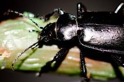 Beetle. Beetle Campalita olivieri. Playa de Arinaga. Aguimes. Gran Canaria. Canary Islands. Spain Royalty Free Stock Image