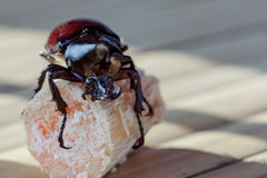 Beetle. S, like sugar cane, which is a favorite of it Royalty Free Stock Photography