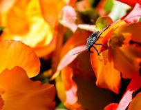 Beetle on a Begonia Stock Photo