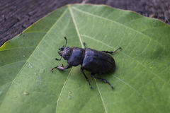 Beetle Royalty Free Stock Images