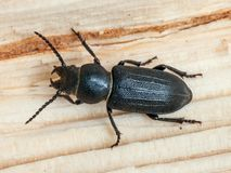 Beetle. Black Longicorn beetle (Spondylis buprestoides) on a wood stock photo
