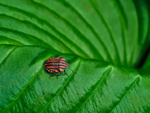 Beetle with black and red stripes on green leaf. Royalty Free Stock Images