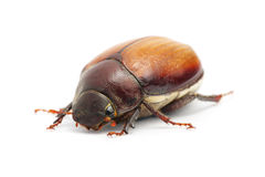 Beetle (Blitopertha Polyanor) Royalty Free Stock Image