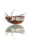 Beetle (Blitopertha Polyanor) Stock Photo