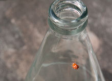 Beetle on a bottle, polka dots ladybug. Beetle on a bottle, polka dots lady bug on a clear bottle Royalty Free Stock Photos