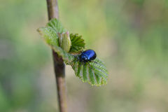 Beetle on the branch. Blue beetle on branch in spring Stock Photos