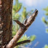 Beetle on a branch of pine Stock Image