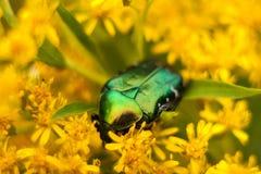 Beetle Brantovka Stock Images
