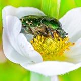 Beetle Brantovka Golden or brantovka ordinary(lat. Cetonia aurat Stock Images