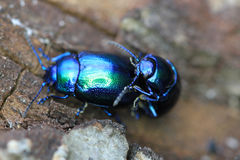 Beetle bug chafers are having sex Royalty Free Stock Image