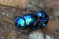 Beetle bug chafers are having sex Royalty Free Stock Photos