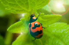 Beetle bug on green leaf and sun light effect Stock Image