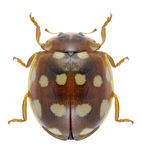 Beetle Calvia quatuordecimguttata. On a white background stock photography