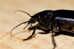Beetle. Beetle Campalita olivieri. Playa de Arinaga. Aguimes. Gran Canaria. Canary Islands. Spain Stock Images