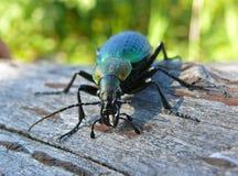 Beetle Carabus 7 Royalty Free Stock Photography