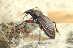 Beetle Carabus cancellatus. On the cortex Royalty Free Stock Image