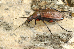 Beetle Carabus cancellatus Royalty Free Stock Photo