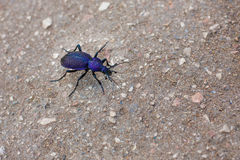 Beetle carabus intricatus Royalty Free Stock Photography
