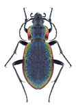 Beetle Carabus vietinghoffi. On a white background Stock Photos