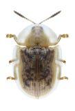 Beetle Cassida flaveola. On a white background Stock Photos