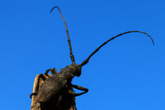 Beetle (Cerambyx cerdo). On a background of blue sky Stock Images