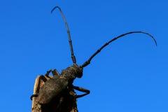 Beetle (Cerambyx cerdo) Stock Images