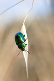 Beetle on cereal grain Stock Images