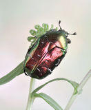 Beetle Cetonia aurata (rose chafer) Royalty Free Stock Images