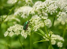 Beetle, cetonia aurata, sits and eats on the flowers off aegopodium podagraria on summer day. royalty free stock photo
