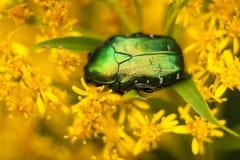 Beetle Brantovka Royalty Free Stock Photo