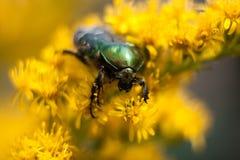 Beetle Brantovka Stock Image