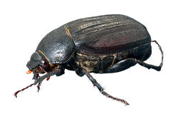 Beetle chafer 3 Stock Photos