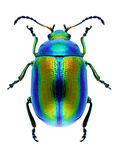 Beetle Chrysolina fastuosa Stock Photos