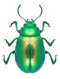 Beetle Chrysolina graminis Royalty Free Stock Photo