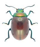 Beetle Chrysolina polita Royalty Free Stock Photos