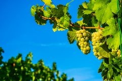 Grapes on the vine in front of blue sky royalty free stock image