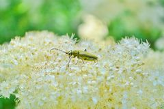 Beetle on a cloud of white flowers. Background with free space stock image