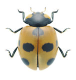 Beetle Coccinella magnifica Royalty Free Stock Images