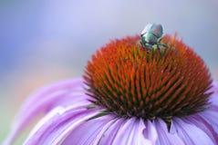 Beetle and Coneflower Stock Photography