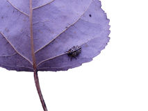 Beetle on cottownwood leaf Royalty Free Stock Images