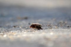 Beetle crawling on the road Stock Photos