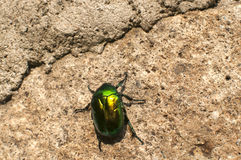 Beetle crawling on stonewall. Green shiny beetle crawling on stonewall surface stock images