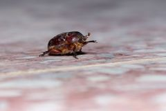 Beetle craws across tiles in the UAE royalty free stock photography