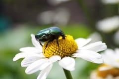Beetle on daisy Stock Photo