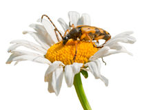 Beetle on daisy Royalty Free Stock Photo