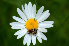 Beetle on daisy Royalty Free Stock Image