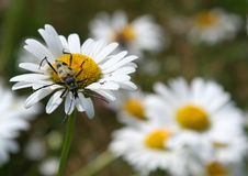 Beetle on a daisy flower Stock Photo