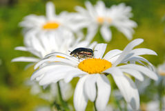 The beetle on  flower of camomile Royalty Free Stock Images